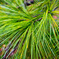 Pine Tree Needles by SR Green