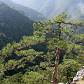 Pine Tree On Mountain Landscape by Goce Risteski
