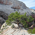 Pine Tree On Top Of Angels Landing In Zion by Pierre Leclerc Photography