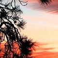 Pine Tree Silhouette by Will Borden