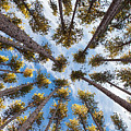 Pine Tree Vertigo by Adam Pender