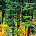 Pine Trees In Autumn by Carl Shaneff - Printscapes