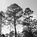 Pine Trees by WaLdEmAr BoRrErO
