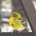 Pine Warbler by Donna Brown