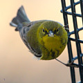 Pine Warbler by Laurie Pocher