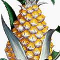 Pineapple, 1789 by Granger