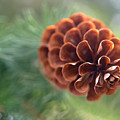 Pinecone-1 by Steve Somerville
