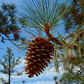 Pinecone by Patrick Witz