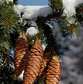 Pinecones Hanging From A Snow-covered Fir Tree Branch by Sami Sarkis