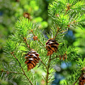 Pinecones by Mellissa Ray