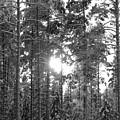Pines 3 by Jouko Lehto