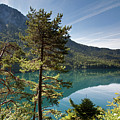 Pines And Alpsee by Aivar Mikko