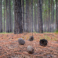 Pines And Needles 4 by Brad Grove