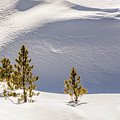 Pines In The Snow Drifts by Stephen Johnson
