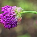 Pink Allium by Susie Peek
