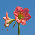 Pink Amaryllis Flowering In Spring by Allan  Hughes
