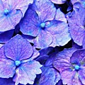 Pink And Blue Hydrangea 4 by Sarah Loft
