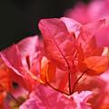 Pink And Orange Bougainvillea - Square by Rona Black