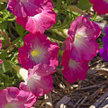 Pink And Purple Petunias by Lynn Hansen