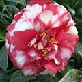 Pink And White Camillia by Frederic Kohli