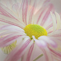 Pink And White  by Darla Rae Norwood