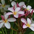 Pink And White Plumeria by Pamela Walton