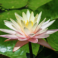 Pink And White Water Lily by Robert Edgar