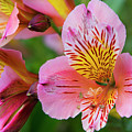 Pink And Yellow Flora by David Hare