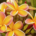 Pink And Yellow Plumeria 2 by Brian Harig
