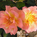 Pink And Yellow Roses by Stephanie Moore