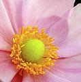 Pink Anemone by Kaye Menner