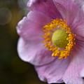Pink Anemone by Rowena Throckmorton