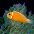 Pink Anemonefish by Dave Fleetham - Printscapes