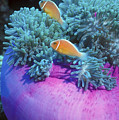 Pink Anemonefish Protect Their Purple by Michael Wood
