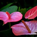 Pink Anthuriums by Mary Deal