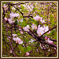 Pink Aplle Blossoms Of Spring Time by Debra Lynch