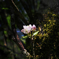 Pink Apple Blossom by Sharon Popek