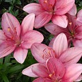 Pink Asiatic Lilies 2 by Dawn Wells