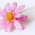 Pink Aster Flower II by Nick Biemans