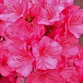 Pink Azalea Blooms 2 by Scenic Sights By Tara