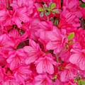 Pink Azalea Blooms by Scenic Sights By Tara