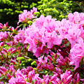 Pink Azalea Flowers Landscape 11 Art Prints Canvas Artwork Framed Art Cards by Baslee Troutman