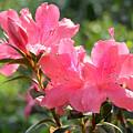 Pink Azaleas by Ben Prepelka