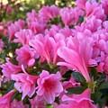 Pink Azaleas II by Jai Johnson