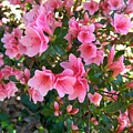 Pink Azaleas IIi by Jai Johnson