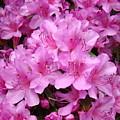 Pink Azaleas Summer Garden 6 Azalea Flowers Giclee Art Prints Baslee Troutman by Baslee Troutman