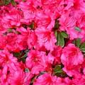 Pink Azaleas by Val Conrad