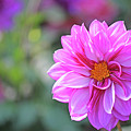 Pink Beauty by Becky Lodes