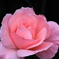Pink Beauty  by Paul Slebodnick