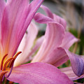Pink Beauty by Terry Anderson